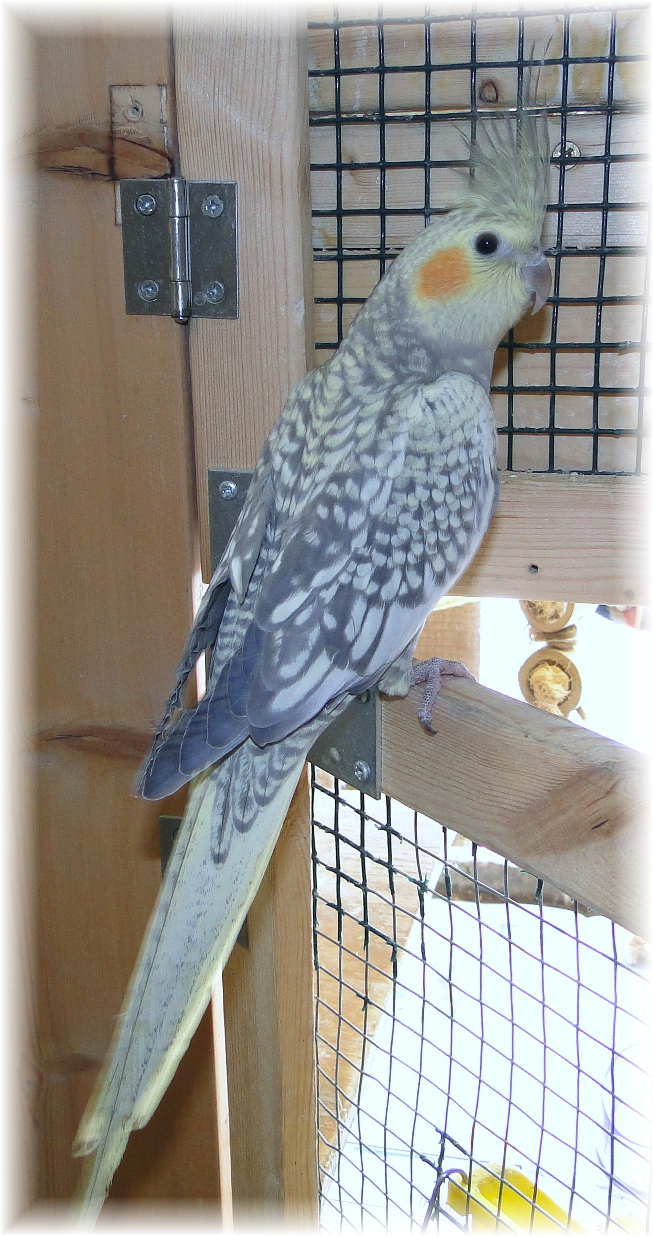 For Sale at Feather Focus, Cockatiels, Capes, Pionus